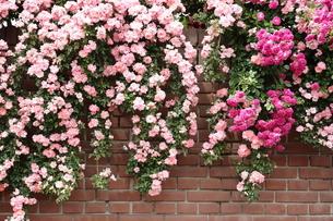レンガの壁を覆うピンクの花の写真素材 [FYI00452614]