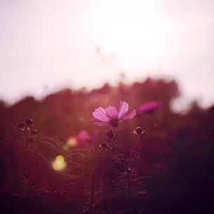 光がこぼれるコスモスの写真素材 [FYI00452615]