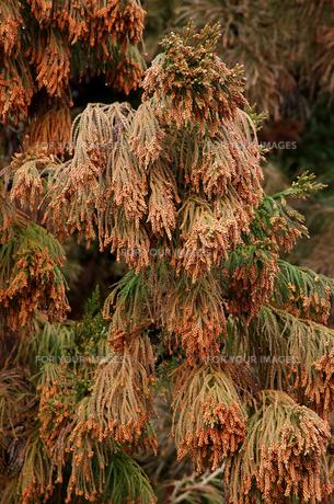 杉花粉の写真素材 [FYI00452781]