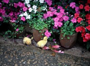 花とひよこの写真素材 [FYI00452862]