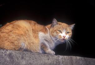 塀上のネコの写真素材 [FYI00453126]