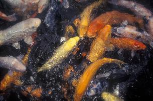泳ぐ鯉の写真素材 [FYI00453409]