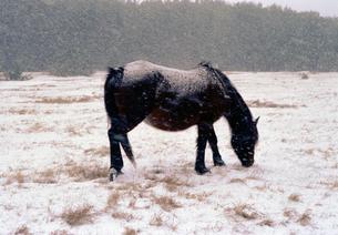 寒立馬(かんだちめ)の写真素材 [FYI00453527]