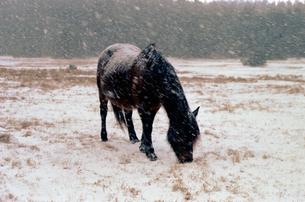 寒立馬(かんだちめ)の写真素材 [FYI00453569]