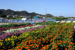 千倉の花畑の写真素材 [FYI00453649]