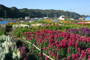 千倉の花畑の写真素材 [FYI00453651]