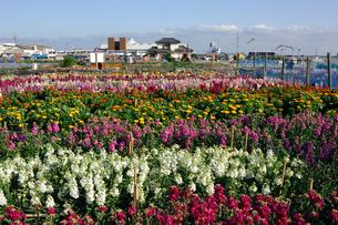 千倉の花畑の写真素材 [FYI00453658]