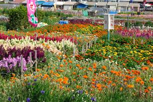 千倉の花畑の写真素材 [FYI00453659]