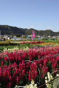 千倉の花畑の写真素材 [FYI00453662]