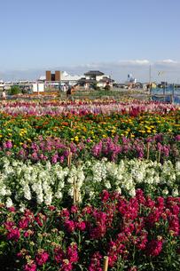 千倉の花畑の写真素材 [FYI00453663]