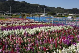 千倉の花畑の写真素材 [FYI00453668]