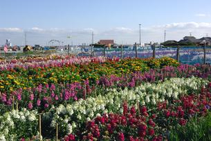 千倉の花畑の写真素材 [FYI00453669]