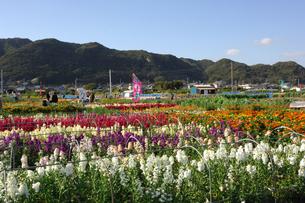 千倉の花畑の写真素材 [FYI00453670]