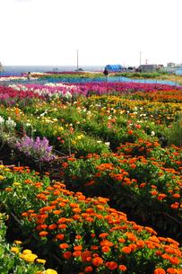 千倉の花畑の写真素材 [FYI00453671]