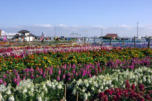 千倉の花畑の写真素材 [FYI00453673]