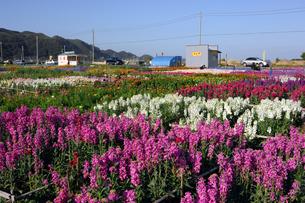 千倉の花畑の写真素材 [FYI00453675]