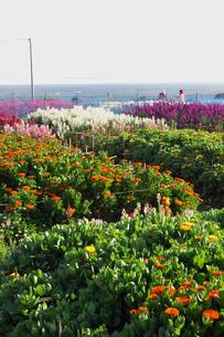 千倉の花畑の写真素材 [FYI00453676]