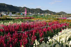 千倉の花畑の写真素材 [FYI00453681]