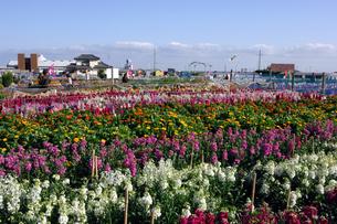 千倉の花畑の写真素材 [FYI00453683]