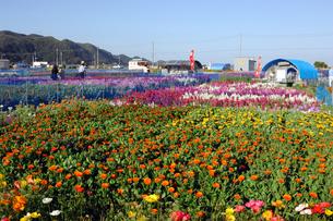 千倉の花畑の写真素材 [FYI00453684]