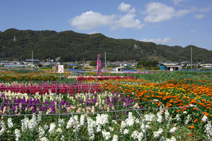 千倉の花畑の写真素材 [FYI00453685]