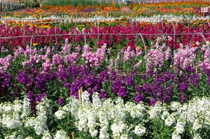 千倉の花畑の写真素材 [FYI00453687]