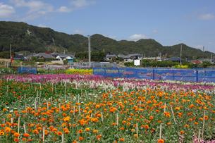 千倉の花畑の写真素材 [FYI00453689]