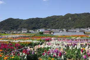 千倉の花畑の写真素材 [FYI00453692]