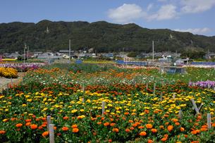 千倉の花畑の写真素材 [FYI00453693]