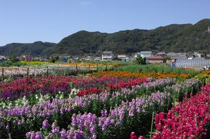 千倉の花畑の写真素材 [FYI00453694]