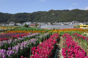 千倉の花畑の写真素材 [FYI00453696]