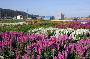 千倉の花畑の写真素材 [FYI00453697]