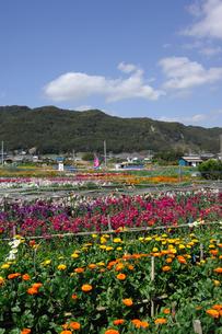 千倉の花畑の写真素材 [FYI00453698]
