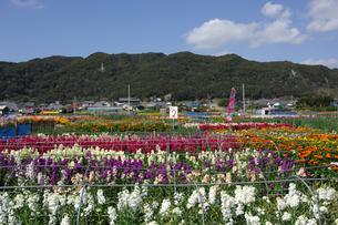 千倉の花畑の写真素材 [FYI00453699]