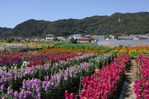 千倉の花畑の写真素材 [FYI00453700]