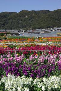 千倉の花畑の写真素材 [FYI00453702]