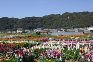 千倉の花畑の写真素材 [FYI00453705]