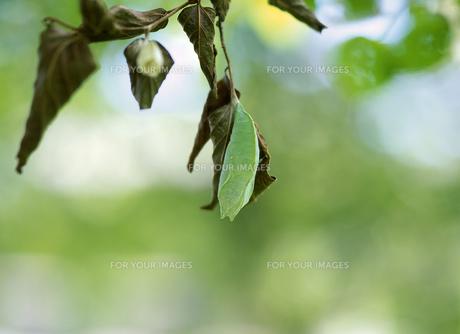 国蝶オオムラサキのサナギの写真素材 [FYI00454069]