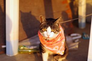 前掛けエプロン猫の写真素材 [FYI00454193]