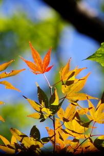 カラフルな紅葉の写真素材 [FYI00454206]