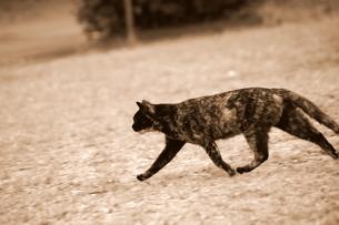 颯爽と走る猫の写真素材 [FYI00454221]
