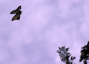 蝶の舞の写真素材 [FYI00454228]