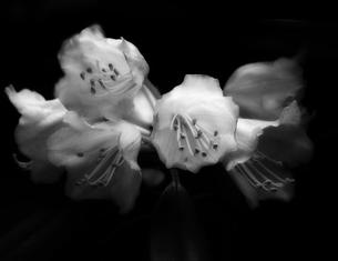 浮かび上がる花の写真素材 [FYI00454262]