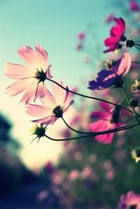 秋桜の写真素材 [FYI00454281]