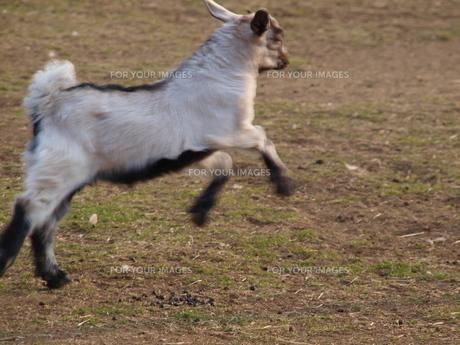 跳ねるの山羊の写真素材 [FYI00454372]