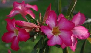 タイに咲くの写真素材 [FYI00454426]