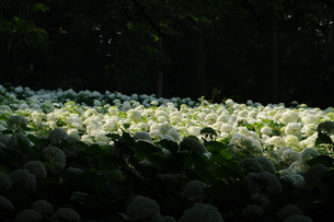 アナベル畑の写真素材 [FYI00454480]