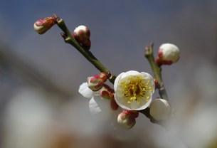 咲き始めの白梅の写真素材 [FYI00454552]