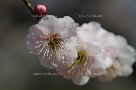 あたたかなな日差しに咲く梅の写真素材 [FYI00454556]