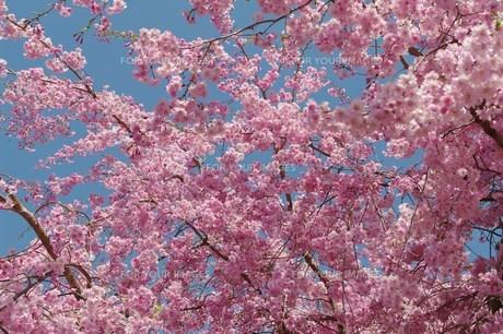 満開の紅しだれ桜の写真素材 [FYI00454604]